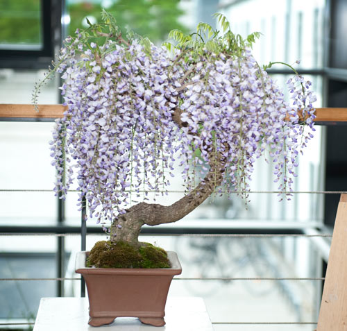 For Todd Ellis (and ofcourse all other IBC friends) my Wisteria Dbs-2010