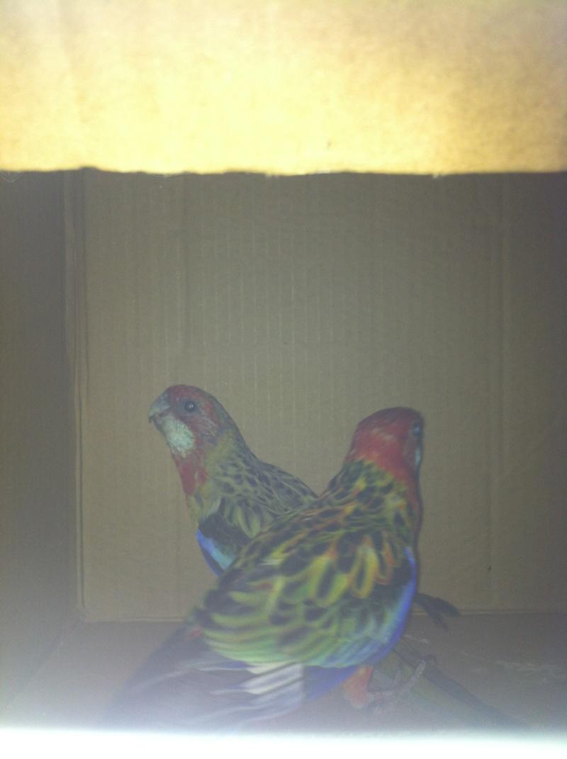 NOUVELLE perruche omnicolore Img_0410