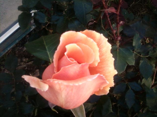 le royaume des rosiers...Vive la Rose ! 11_05_10