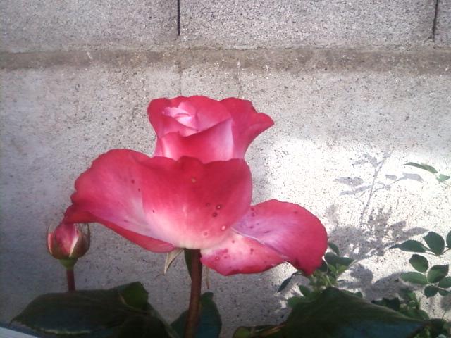 le royaume des rosiers...Vive la Rose ! 11_05_11