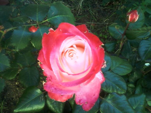 le royaume des rosiers...Vive la Rose ! 11_05_12
