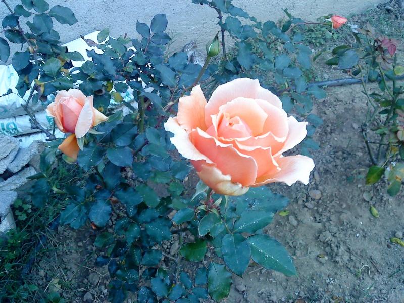le royaume des rosiers...Vive la Rose ! Abcd0010