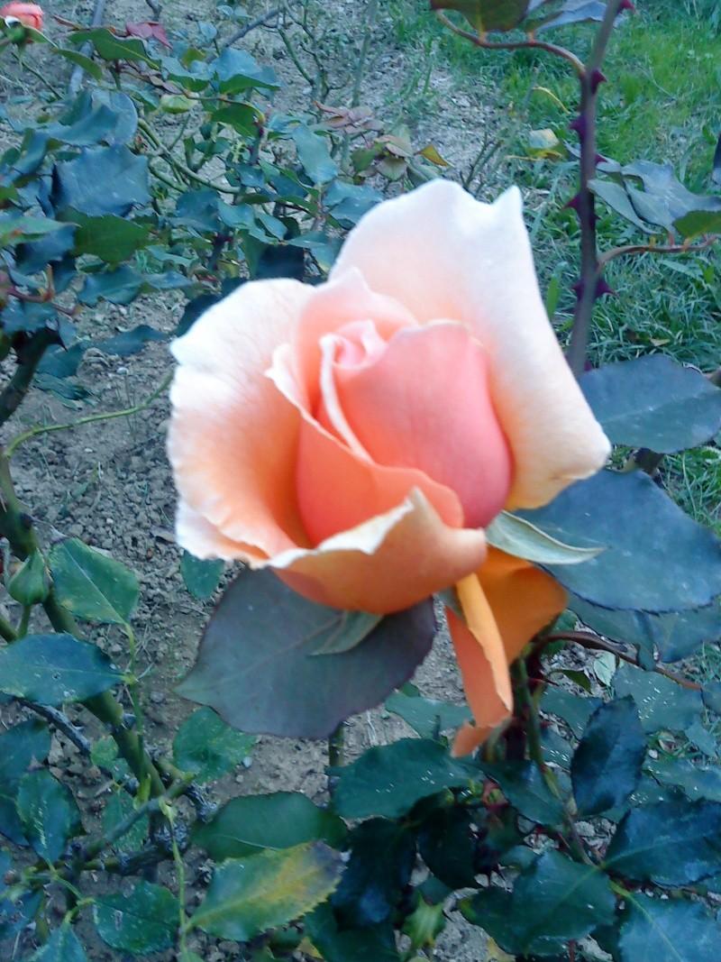 le royaume des rosiers...Vive la Rose ! Abcd0011