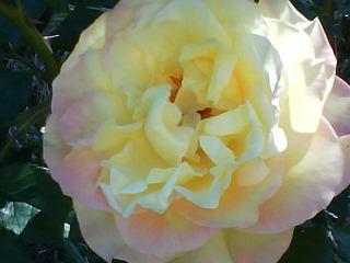 le royaume des rosiers...Vive la Rose ! Dsc00010