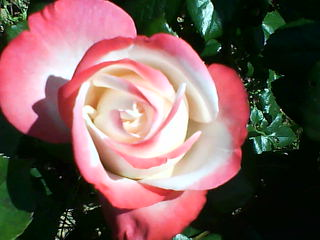 le royaume des rosiers...Vive la Rose ! Dsc00011
