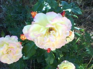 le royaume des rosiers...Vive la Rose ! Dsc00012