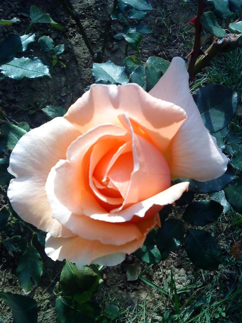 le royaume des rosiers...Vive la Rose ! Roses_10
