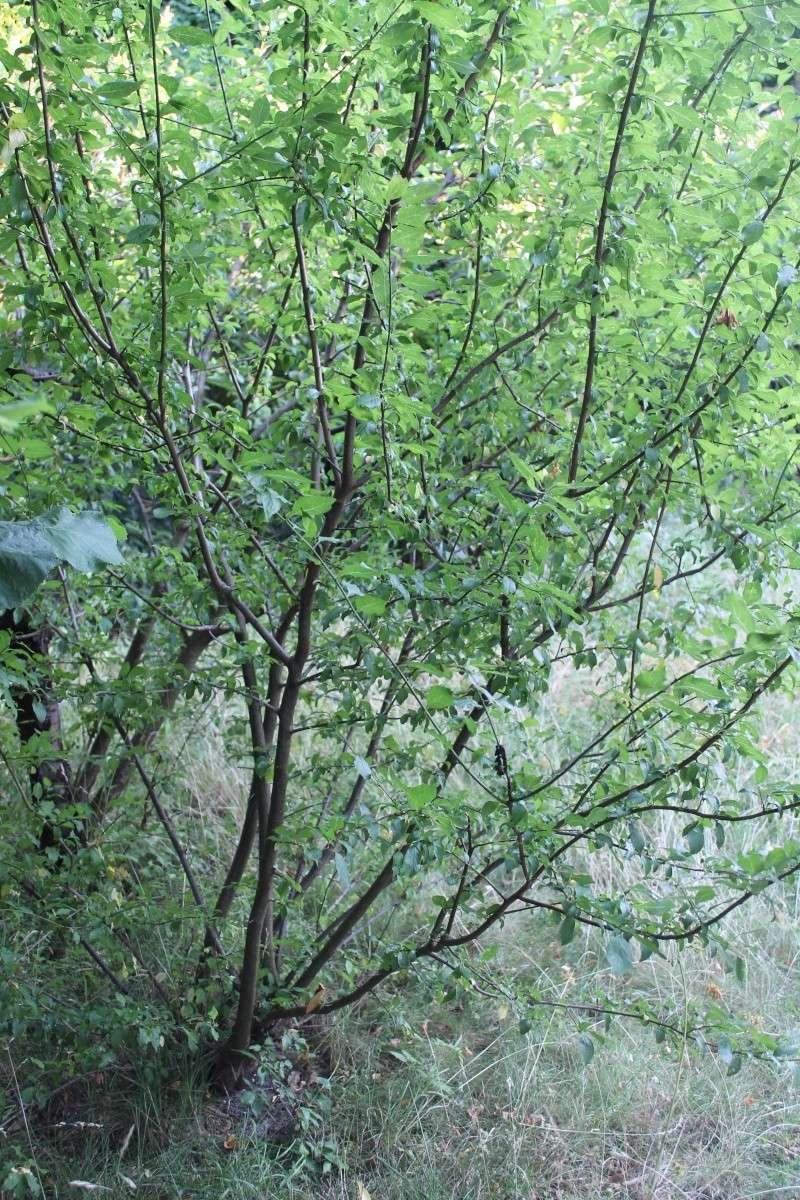 grand arbuste spontané Img_1126