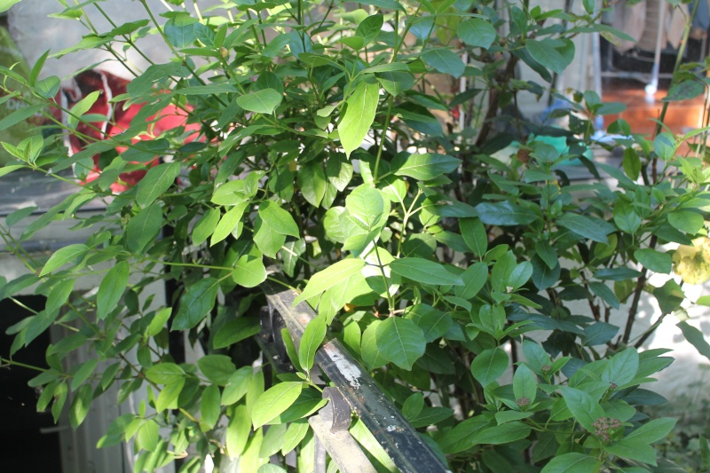 Un autre arbuste à fleurs Img_1139
