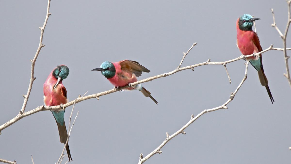 Vol au dessus de nids de ...Rolliers ... - Page 3 Img_0335