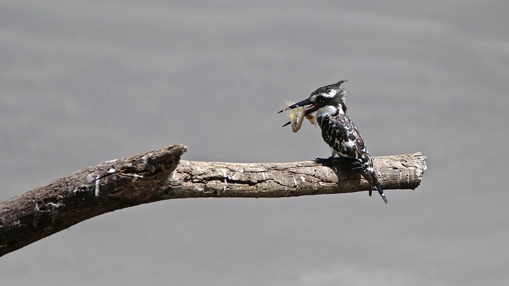 Vol au dessus de nids de ...Rolliers ... - Page 7 Img_9616