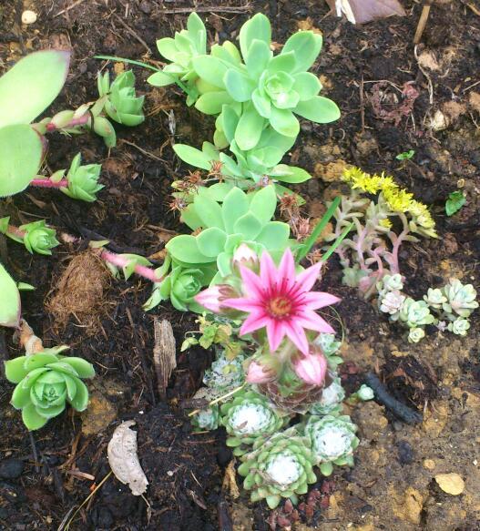 plantes grasses artichaut Dsc_0031