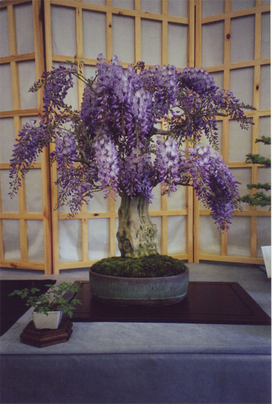 For Todd Ellis (and ofcourse all other IBC friends) my Wisteria Johns_10