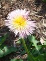 taraxacum pseudo roseum Pissen12