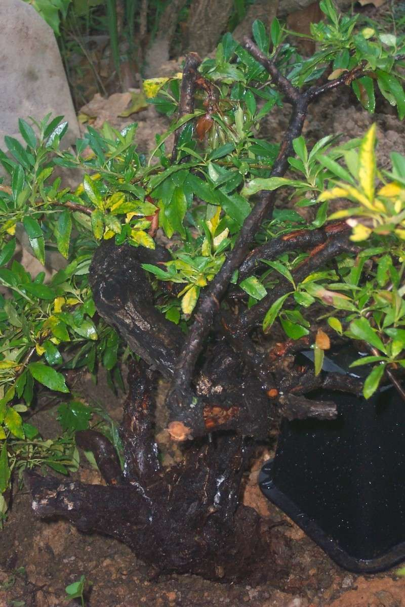collected pyracantha care... don't want to over water them Pyraca11