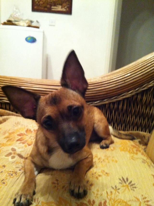 Chihuahua mâle de 18 mois x Pinscher, Var Ramses12
