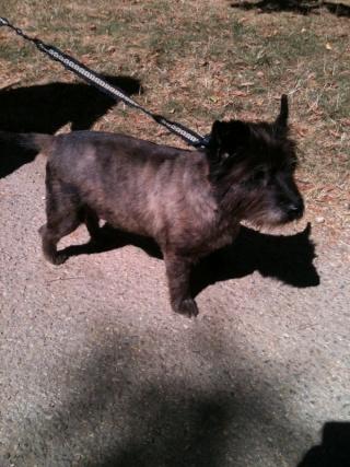Cairn terrier, fauve, mâle, 7 ans, Var Wisky_10
