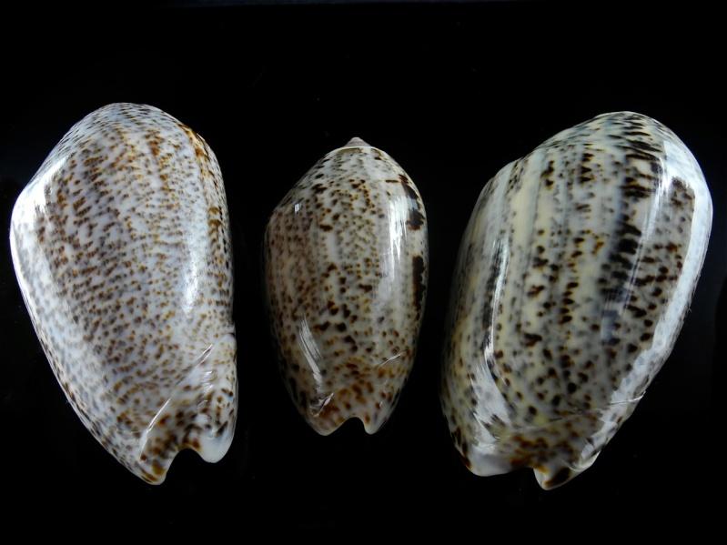 Americoliva incrassata (Lightfoot in Solander, 1786) Dscn0137