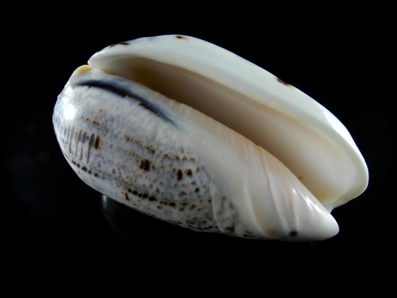 Americoliva incrassata (Lightfoot in Solander, 1786) Dscn0139