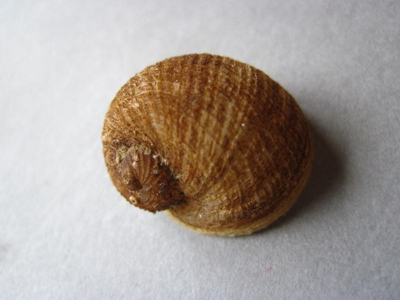 Vanikoridae - Vanikoro cancellata - (Lamarck, 1822) Img_0517