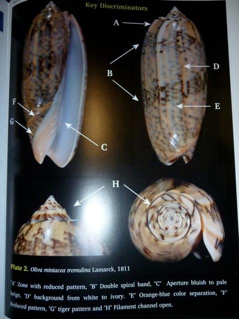 Oliva tremulina (Miniaceoliva) - Lamarck, 1811 P1060210