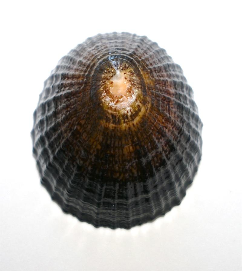 Patellidae Australiennes Pict0016