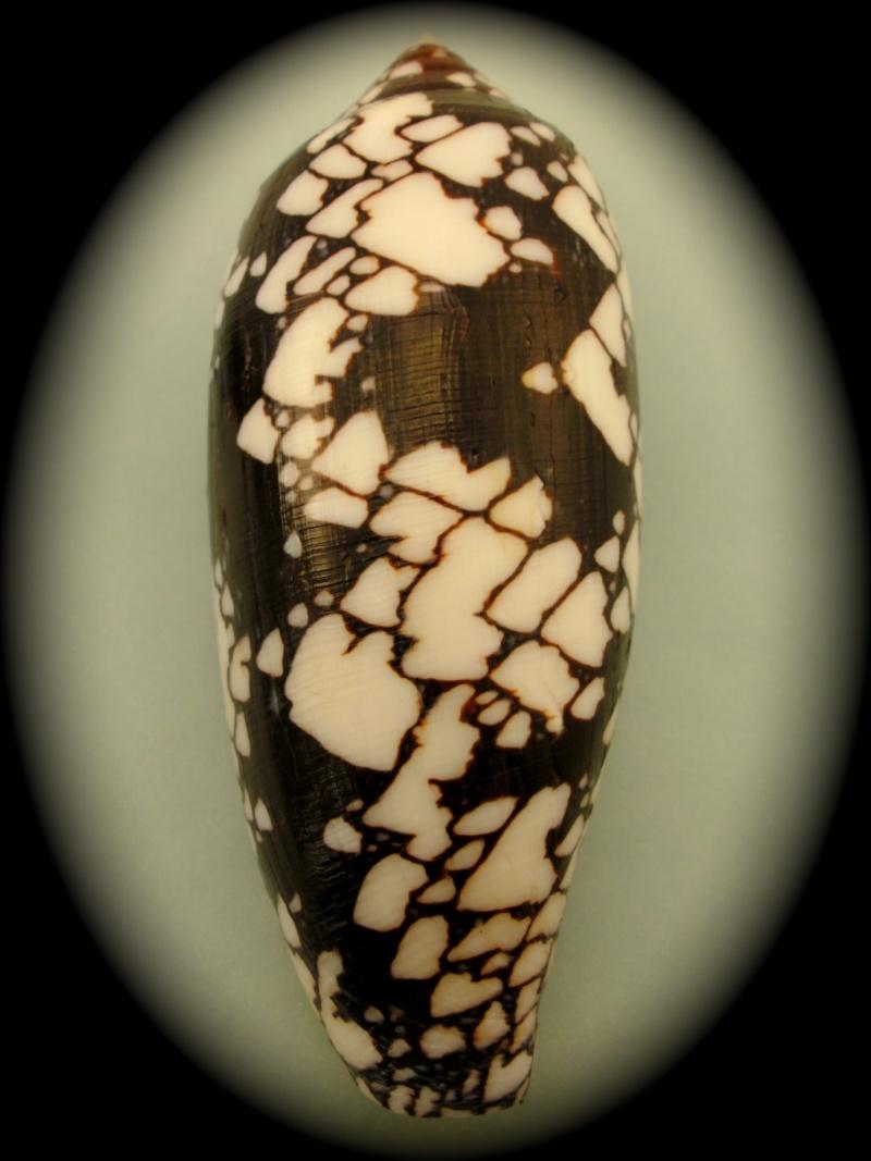Conus (Darioconus) aulicus   Linnaeus, 1758 Pict0029