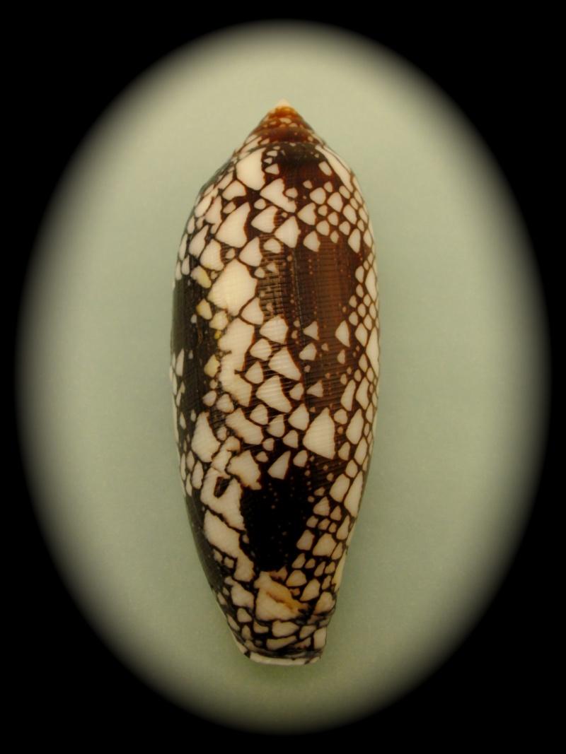 Conus (Darioconus) aulicus   Linnaeus, 1758 Pict0031