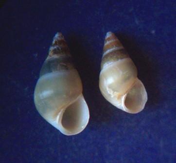 Supplanaxis niger - (Quoy & Gaimard, 1833) 1905_h10