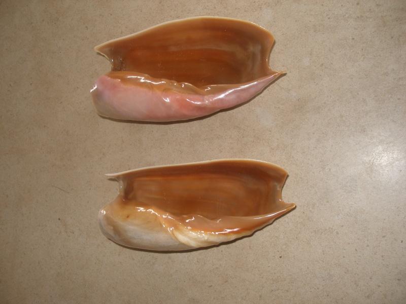 Cymbium cymbium - (Linnaeus, 1758) P1080313