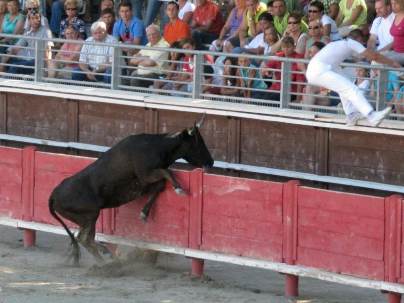 vergeze  Course de vaches cocardières – manade Blatière - Ricard   Img_5210