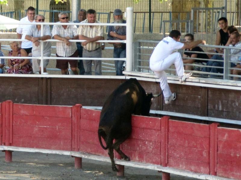vergeze  Course de vaches cocardières – manade Blatière - Ricard   Img_5211
