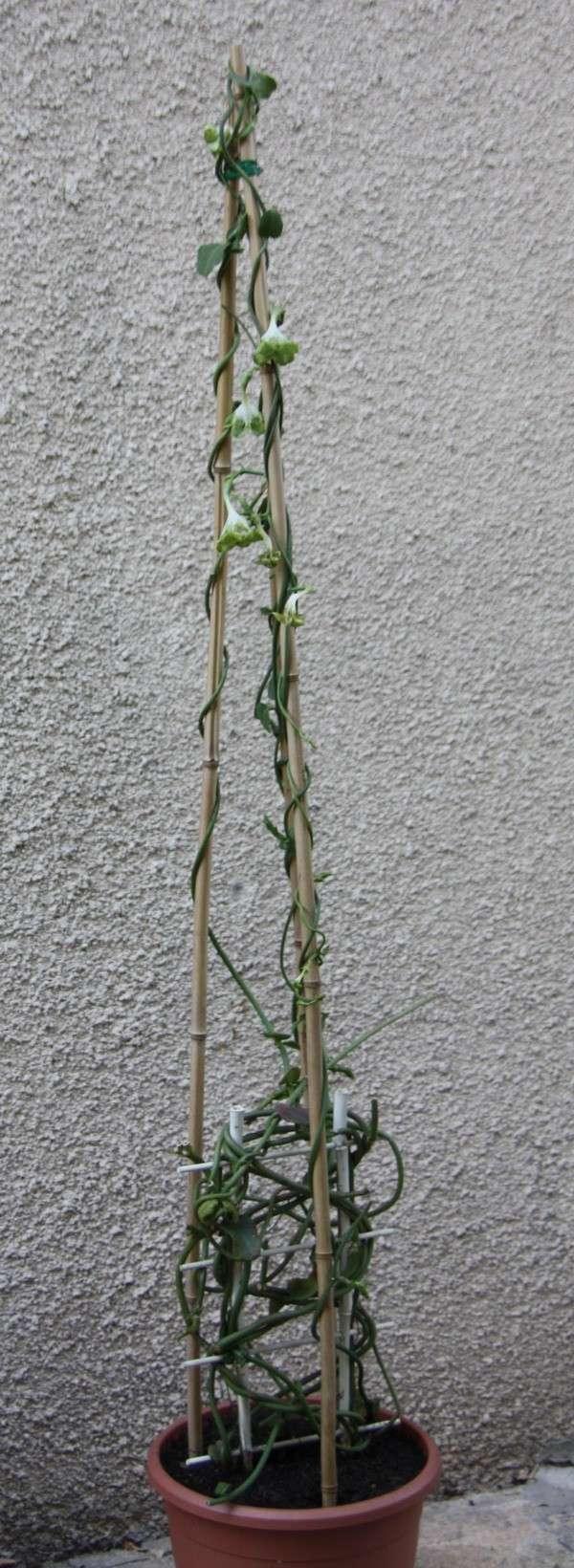 Plante d'appartement peut-être hoya ? non :  ceropegia sandersonii ou plante parachute  Img_9210