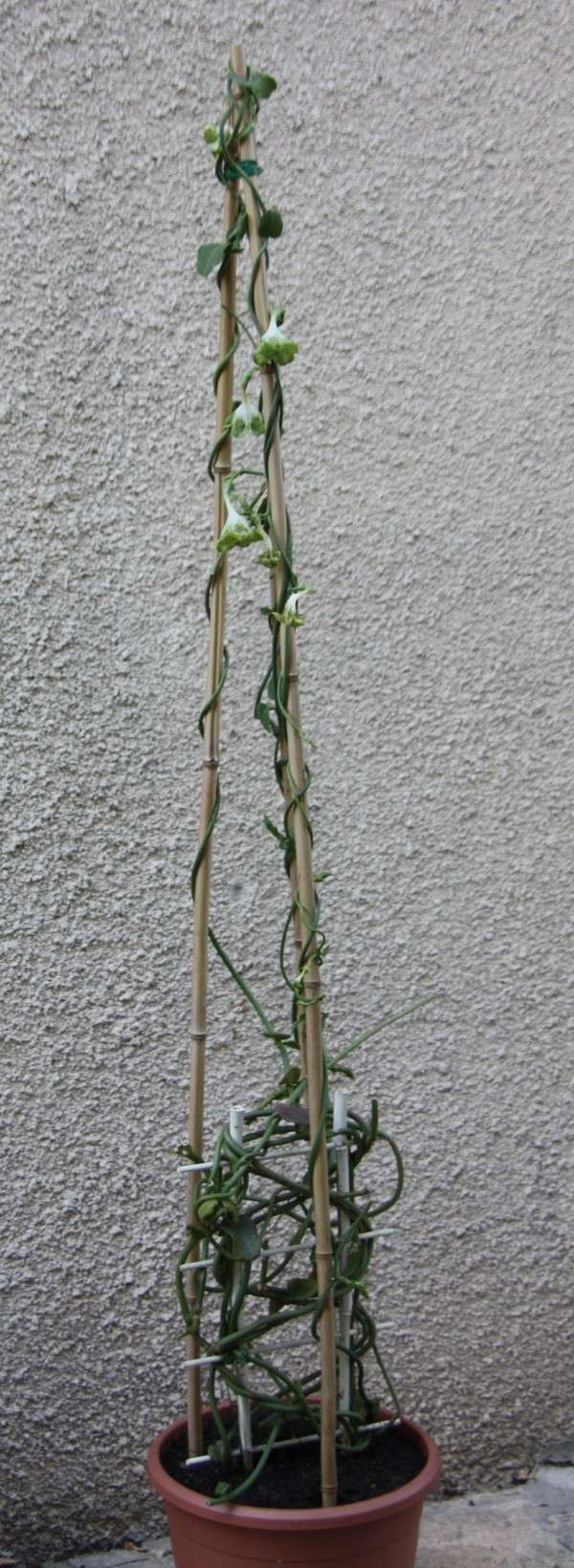 Ceropegia sandersoni ou plante parachute Img_9210