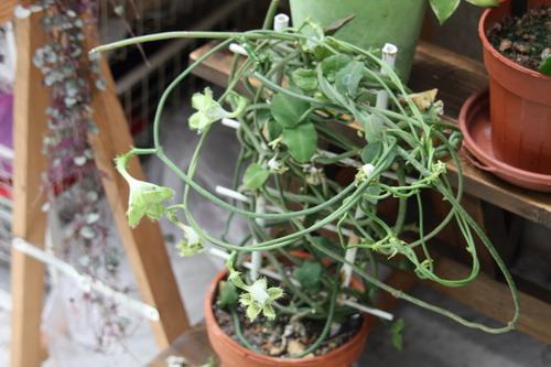 Plante d'appartement peut-être hoya ? non :  ceropegia sandersonii ou plante parachute  Parach11