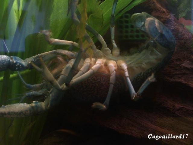 alleni - Procambarus alleni Ecrevisse bleue de floride Dsc_0010