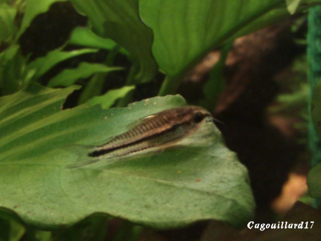 Corydoras Pygmaeus Dsc_0014