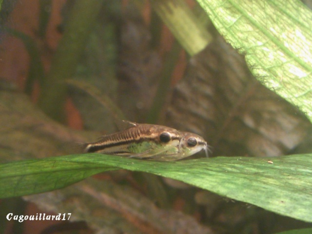 Corydoras Pygmaeus Dsc_0110