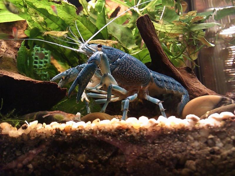 Ma Procambarus alleni  Dsc_0310