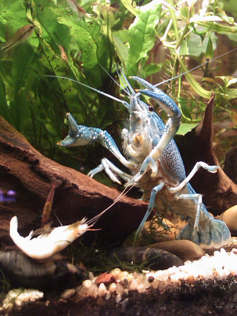 Ma Procambarus alleni  Dsc_0312