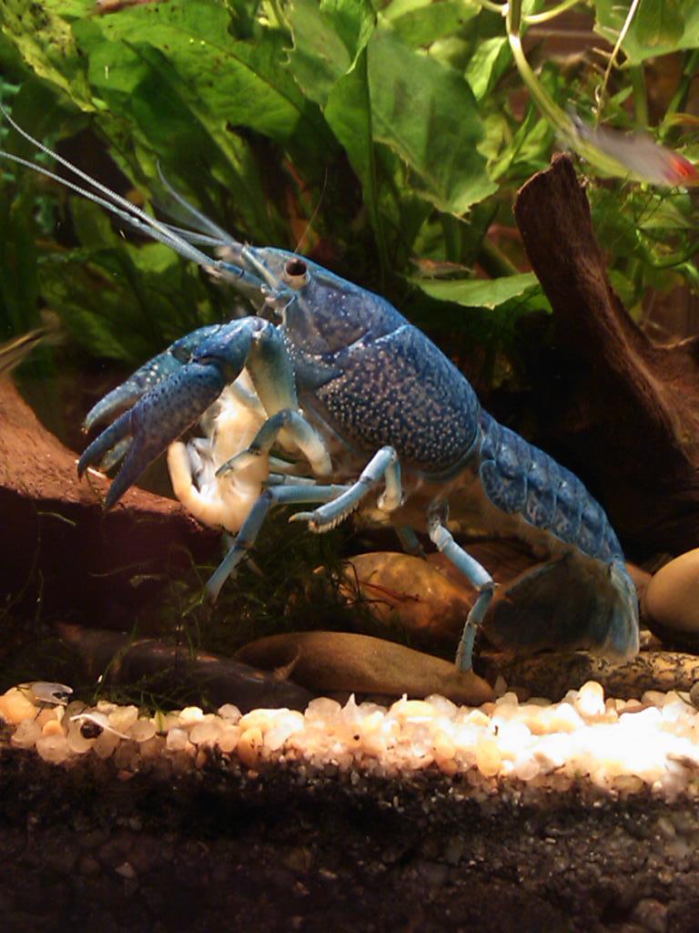 Ma Procambarus alleni  Dsc_0313