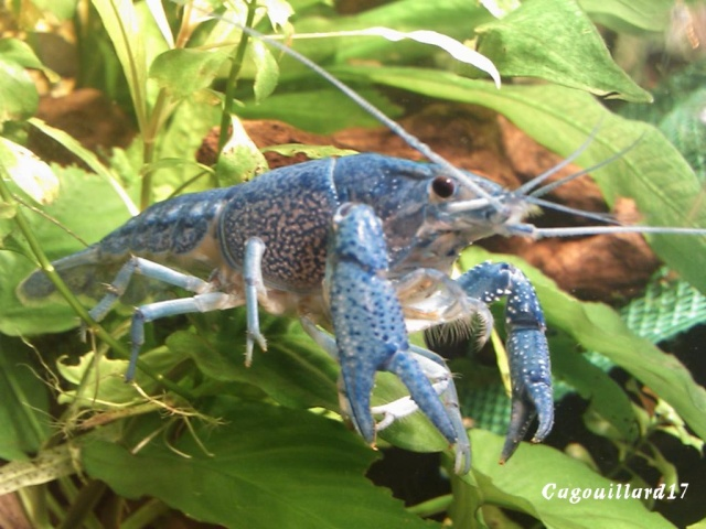 alleni - Procambarus alleni Ecrevisse bleue de floride Dsc_0322