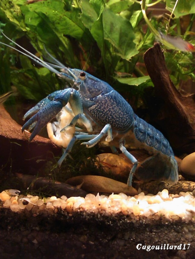 alleni - Procambarus alleni Ecrevisse bleue de floride Dsc_0324