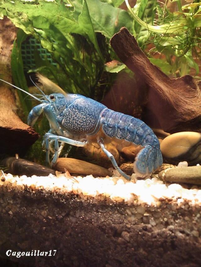 alleni - Procambarus alleni Ecrevisse bleue de floride Dsc_0325