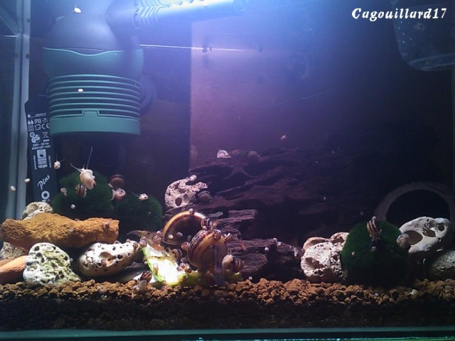 Bac à Escargots  (Marisa cornuarietis) 20L Dsc_0420