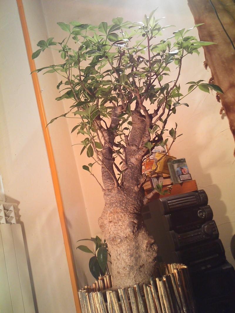 Un Baobab dans un appartement si si vrai de chez vrai  Dsc_0510