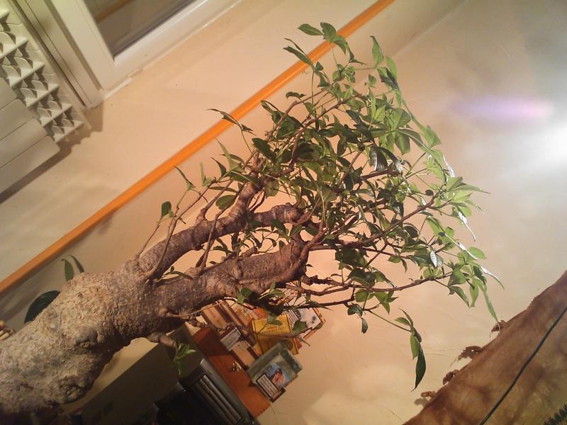Un Baobab dans un appartement si si vrai de chez vrai  Dsc_0511