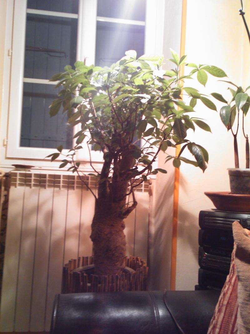 Un Baobab dans un appartement si si vrai de chez vrai  Dsc_0611