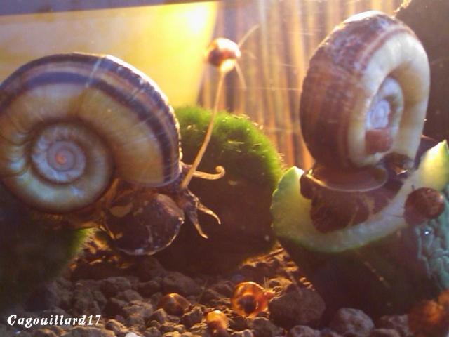 Bac à Escargots  (Marisa cornuarietis) 20L Dsc_0914
