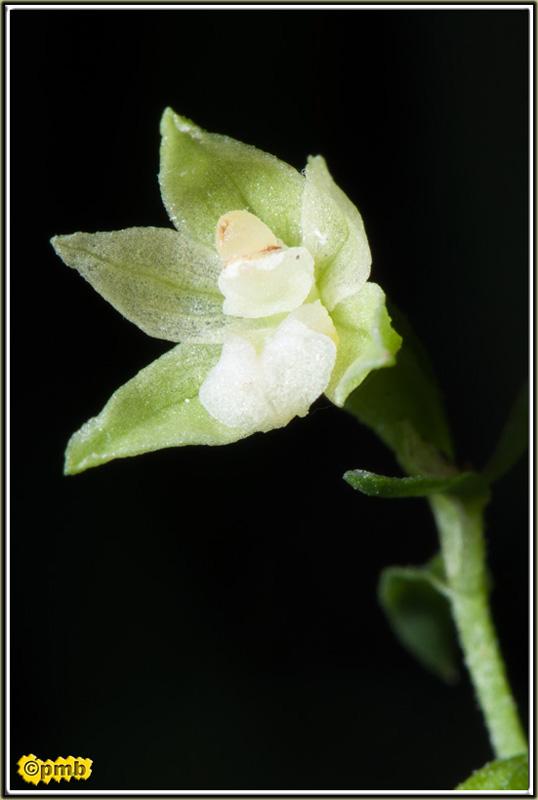Epipactis fageticola ( Epipactis des hêtraies ) Epipac18